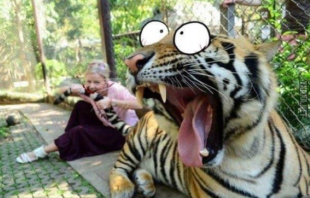 Тигра тянут за хвост